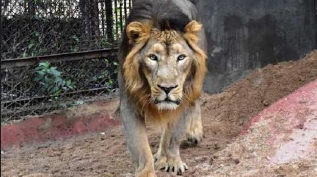 Hindistan'daki hayvanat bahçesinde 8 aslan koronavirüse yakalandı!