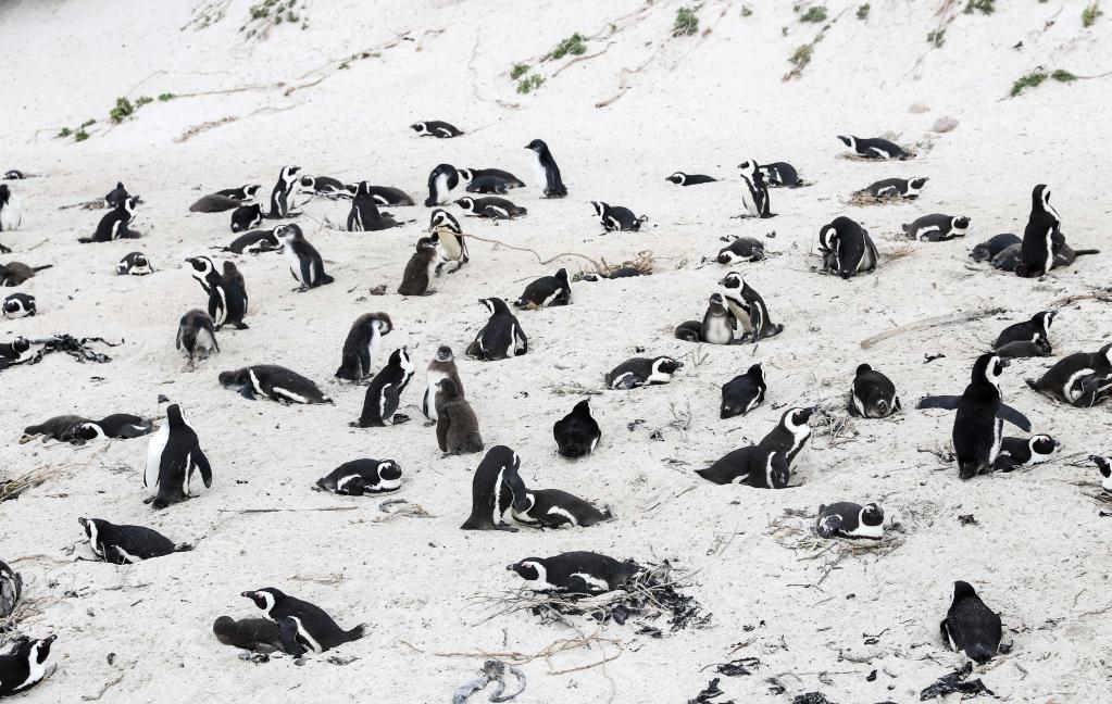 Katil Arılar! nesli tükenmekte olan 63 pengueni telef etti…